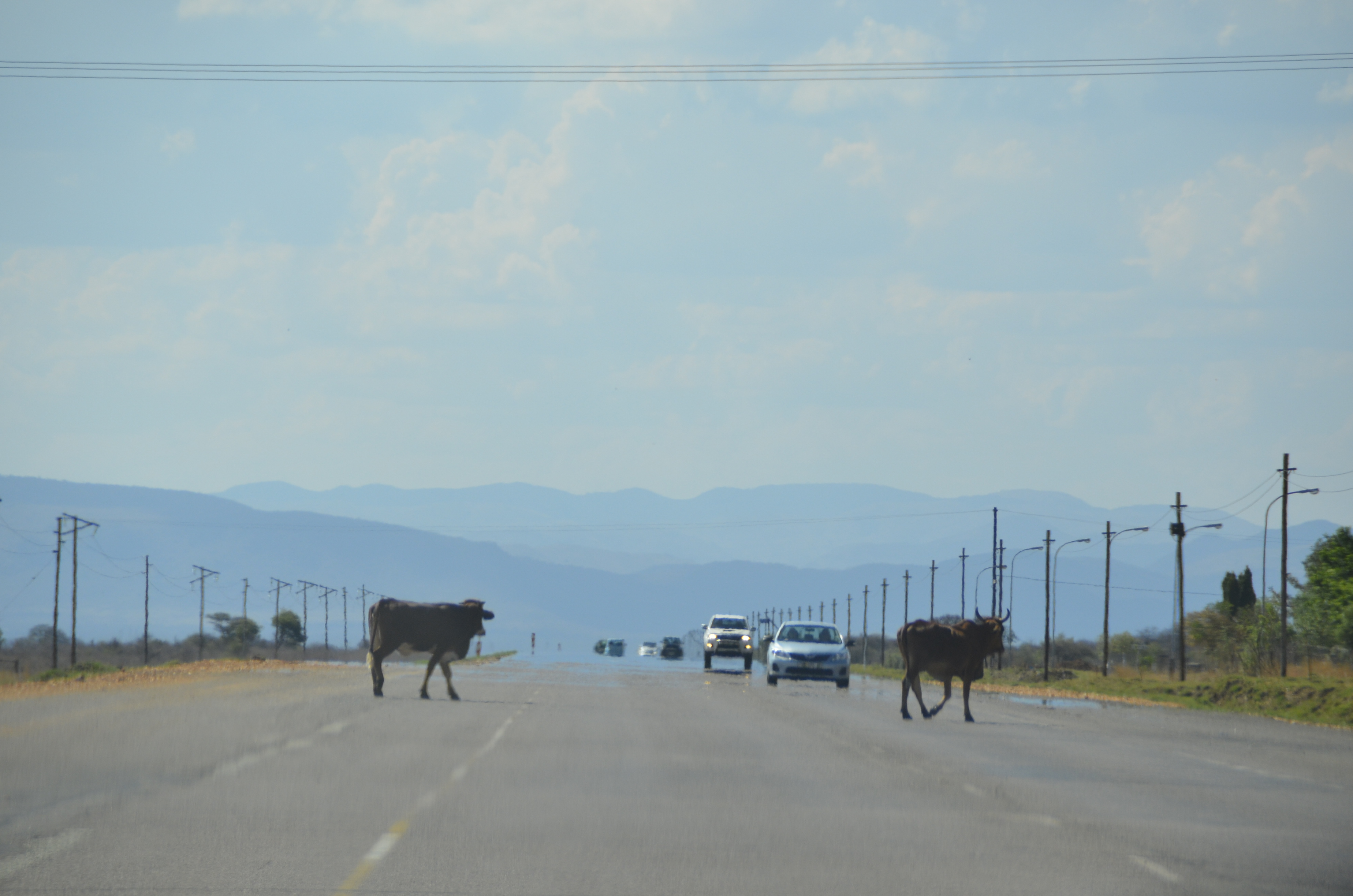 Man måste köra försiktigt här för det finns djur överallt